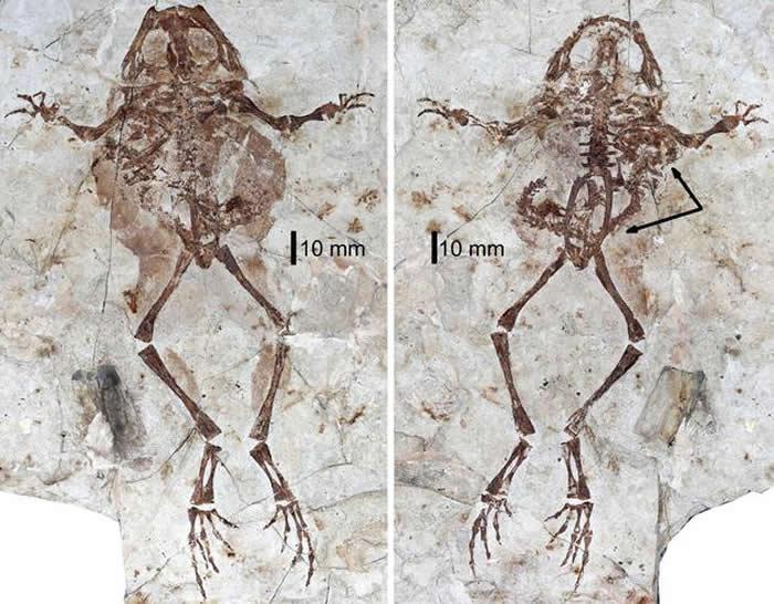 格尼蛙和腹中的诺敏螈化石(摄影/邢立达)