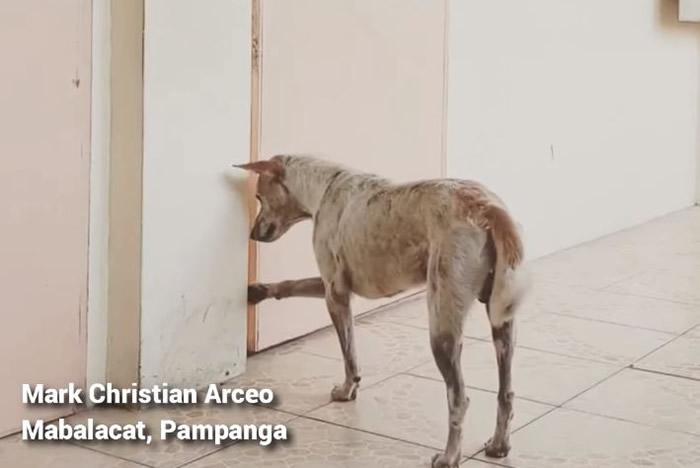 菲律宾的忠犬八公:教授心脏病发过世 相伴多年的流浪狗Buboy仍每天到教室外等对方