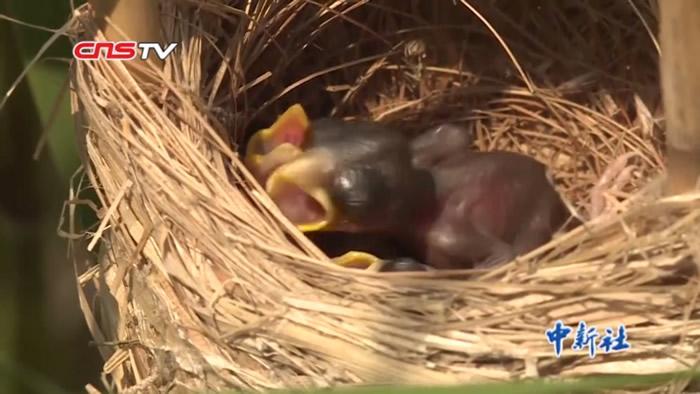 """有""""鸟中大熊猫""""之称的震旦雅雀出现在江苏省泗洪县洪泽湖湿地国家级自然保护区"""