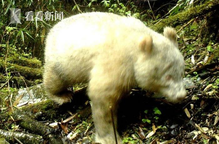 四川卧龙出现全球首例白色大熊猫身影