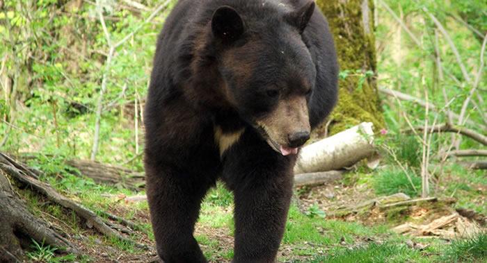 俄罗斯远东一只喜马拉雅熊到农庄偷鸡被抓