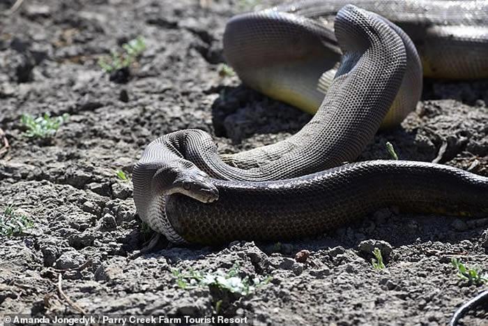 澳大利亚受惊橄榄蟒吐出另一条大小与它不相上下的游蛇