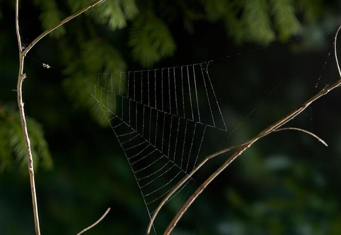 一只三角蛛属(Hyptiotes)的蜘蛛在刚结好的网上等待猎物。 PHOTOGRAPH BY STEPHEN DALTON, NATURE PICTURE LI