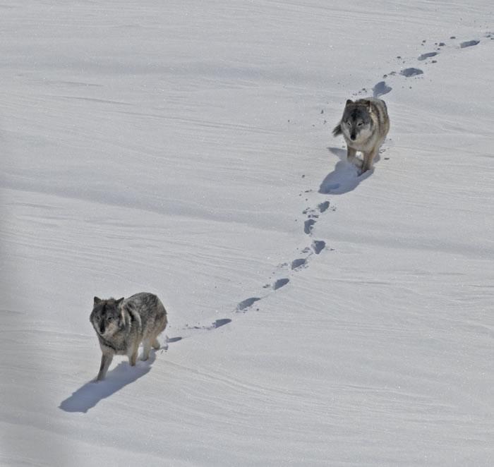 近亲交配的的罗亚尔岛狼数量缩减是因为其含有较少但表达程度却更高的有害基因