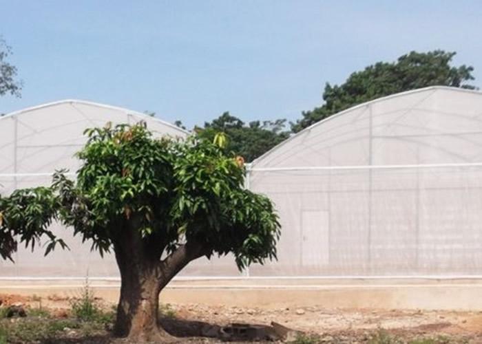 大型蚊帐模拟自然环境。