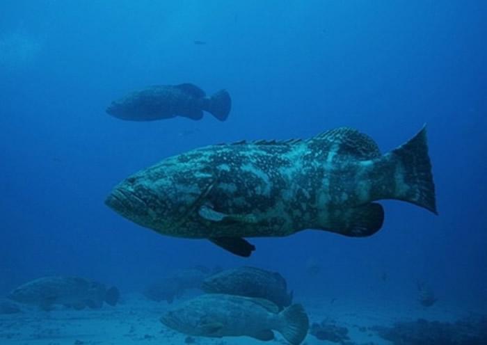 美国国防部拨出4500万美元研究以发光浮游生物和伊氏石斑鱼等海洋生物作间谍