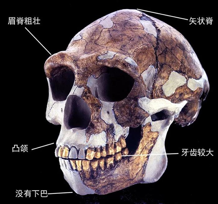 周口店直立人复原头骨及其主要特征
