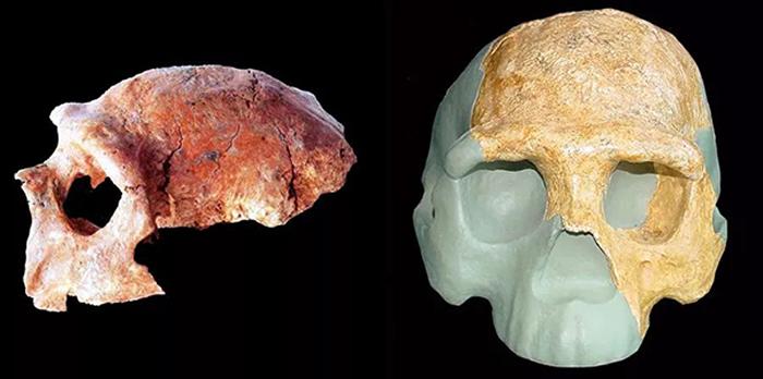 南京汤山直立人头骨化石(左)和复原模型