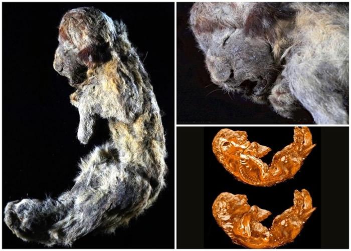 俄罗斯西伯利亚冻土出土3万年前幼狮遗骸 保存完好如仍活着