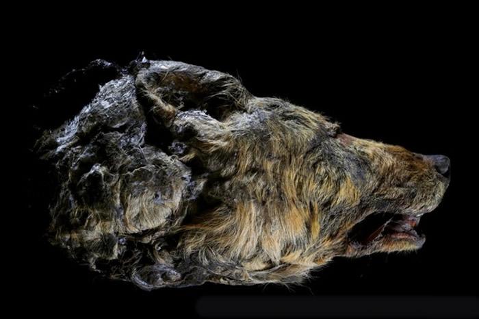 研究人员同时出土一个保存完好的狼头颅。