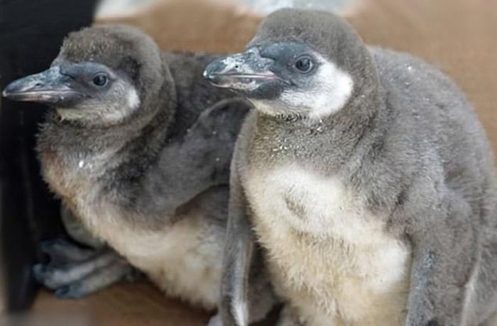 小企鹅的父母遇害,它们现时健康长大。