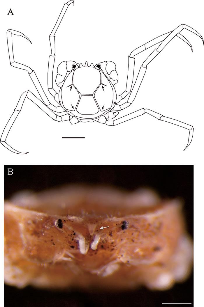 以齐柏林命名的新种膜壳蟹──齐柏林新尖额蟹