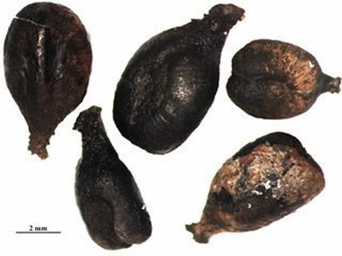 """法国发现""""最古老的""""葡萄籽可追溯至铁器时代"""
