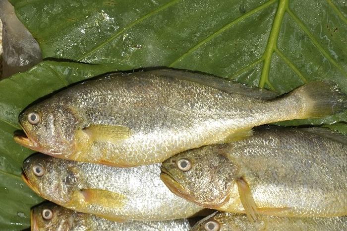 野生黄鱼已极为少见,目前市面上皆为中国大陆所养殖。