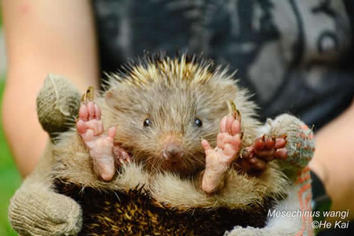 云南高黎贡山国家级自然保护区发现哺乳动物新种――王氏林猬