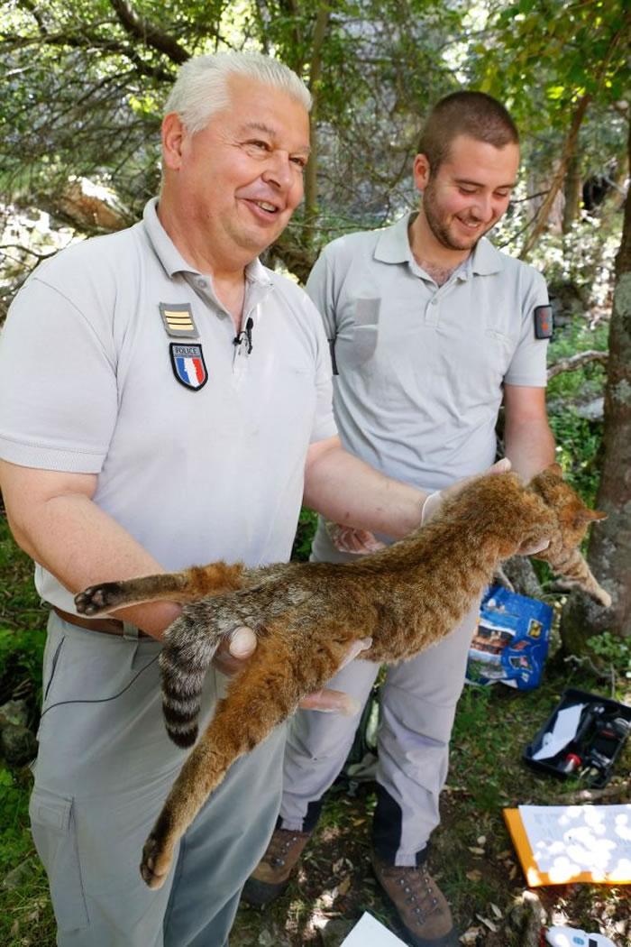法国科西嘉岛发现猫科动物新物种——狐猫