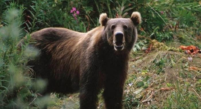 美国阿拉斯加州Naknek镇男子在车中睡着遭到狗熊袭击