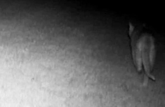 美国明尼苏达州住宅区疑出现山狮 警方呼吁居民要保持警觉