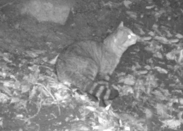 位于地中海的法属科西嘉岛深山现新物种狐猫 极度谨慎爱夜间活动