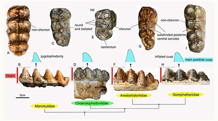 豕脊齿象科和其它象类的形态学对比(A&B, 玛姆象类;C–E, 豕脊齿象类;F&G, 铲齿象类;H&I, 嵌齿象类)(李春晓 供图)