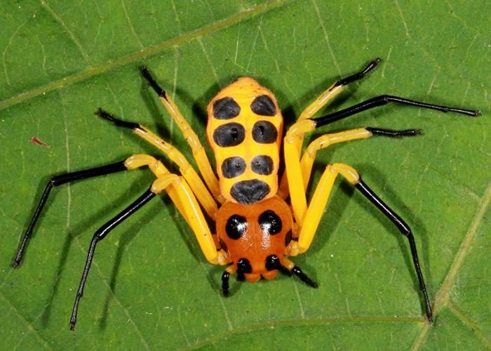 云南西双版纳热带植物园发现新品种蜘蛛——先导板蟹蛛(Platythomisus xiandao)