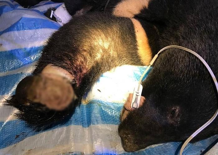 黑熊的左手手掌伤口已溃烂。