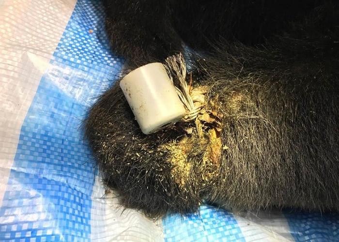 黑熊身上有着新伤旧患。