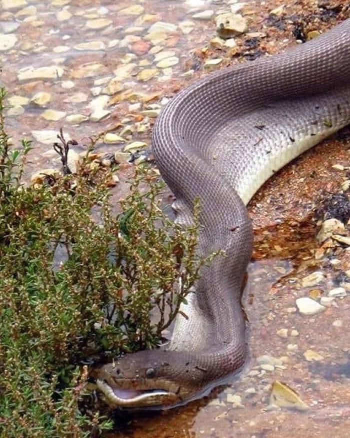 澳洲昆士兰橄榄蟒吞食淡水鳄