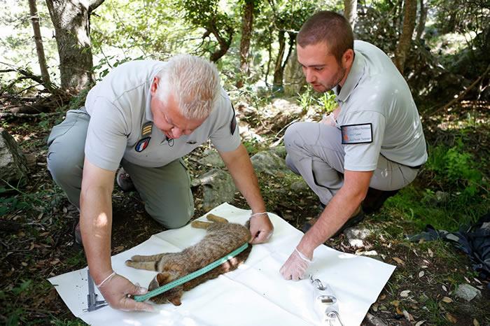 法国科西嘉岛发现了一个潜在的新物种——猫狸
