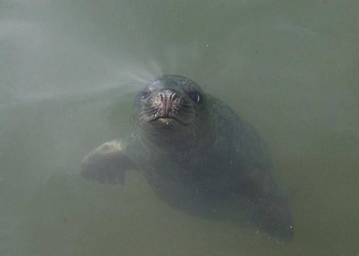 英国科研团队成功教导3头灰海豹模仿人类发声 有助研究人类语言障碍
