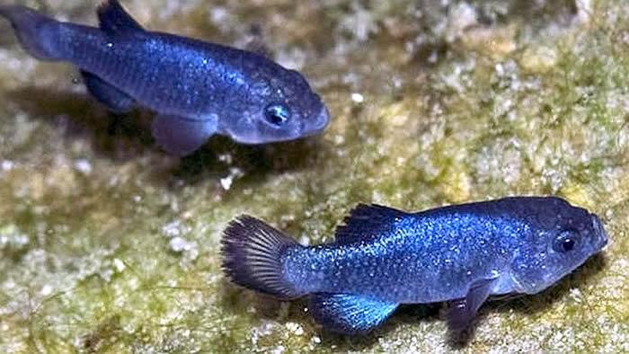 世界上最顽强的物种!美国死亡谷国家公园魔鬼洞鱂鱼(魔鱂)能在恶劣环境下繁衍5万年