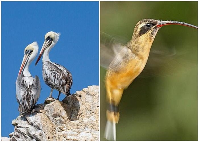 团队确认图案是塘鹅(左)及隐蜂鸟(右)。