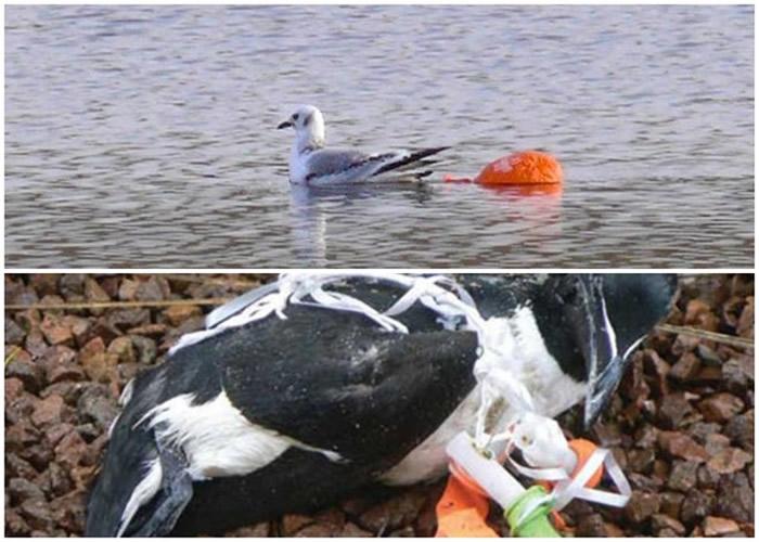 不少海鸟因遭气球缠身,痛苦死去。