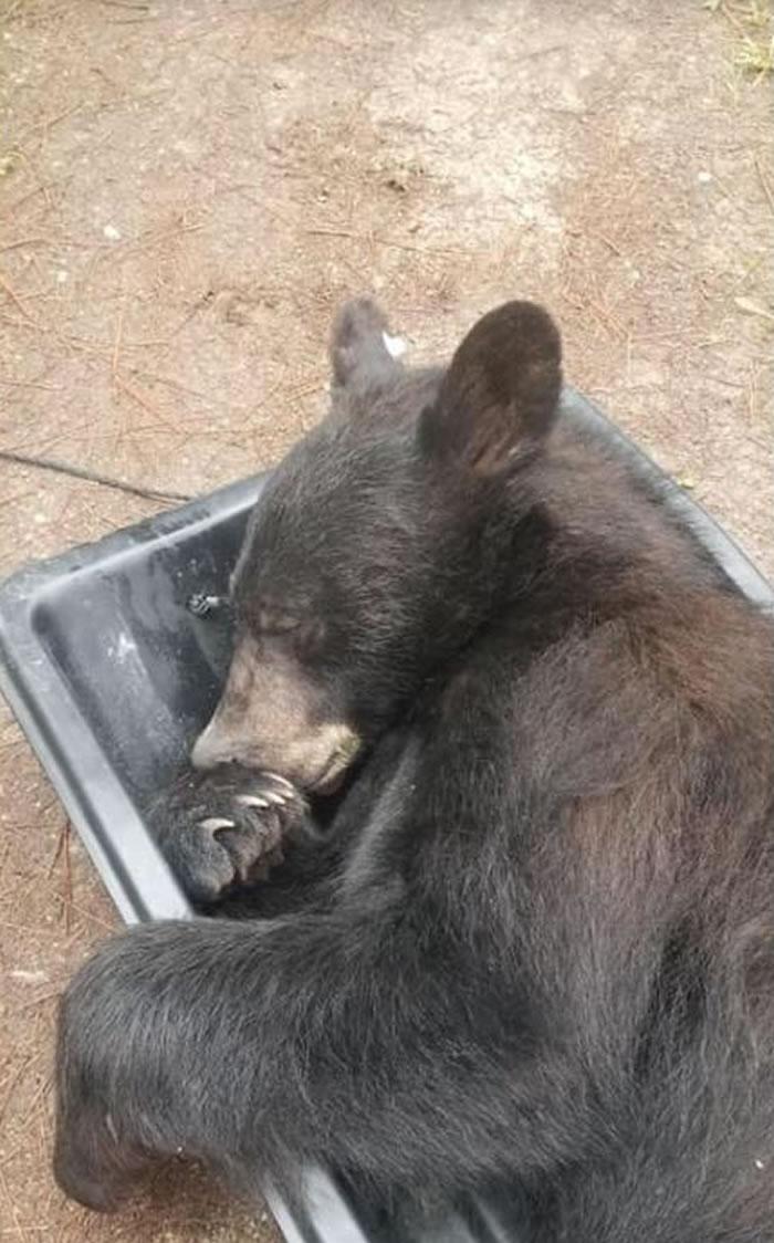 美国蒙大拿州米苏拉郡民众报警称有贼 警察到场后发现竟是只大黑熊