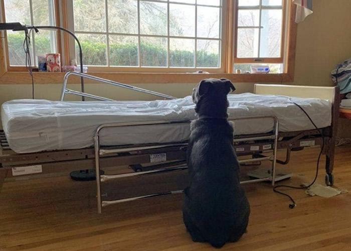 美国拉布拉多混种犬不知主人离世 守候空床背影令人心碎