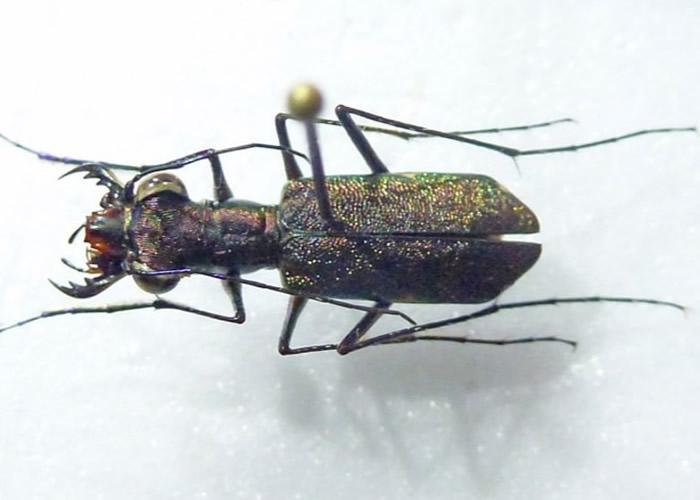 探险家在雨林发现只在尼加拉瓜出现的虎甲虫。