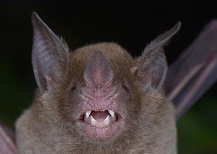 白面蝙蝠曾被认定为灭绝物种。