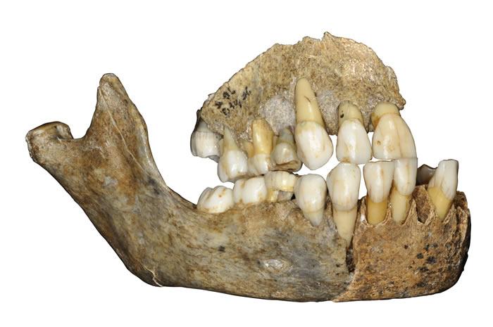 比利时斯克拉迪纳洞穴一名尼安德特人女孩的颌骨。(Credit: © J. Eloy, AWEM, Archéologie andennaise)