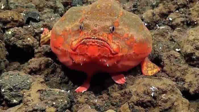 单棘躄鱼科的科芬鱼(恩氏单棘躄鱼)可在水中屏住呼吸长达几分钟