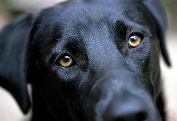 一只黑色拉布拉多猎犬在与摄影师眼神交会时抬起了它的眉毛。 PHOTOGRAPH BY STACY GOLD, NAT GEO IMAGE COLLECTION