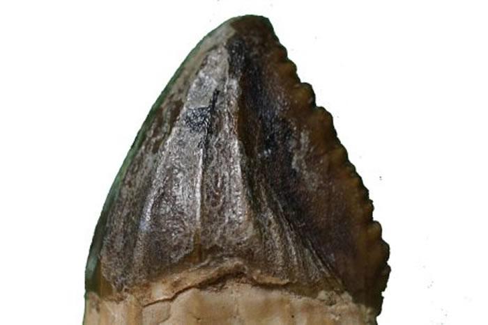 澳大利亚南威尔士发现现代鳄鱼的古老祖先化石