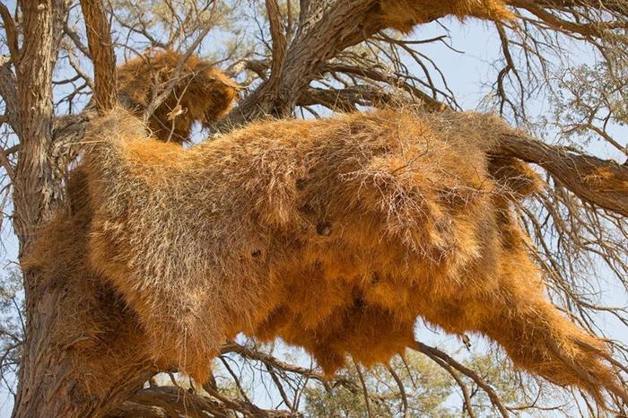 群居织布鸟的巢像公寓一样,摄于纳米比亚。 它们容纳数十个织布鸟家族,以及其他鸟类。 PHOTOGRAPH BY MARESA PRYOR, NAT GEO IM