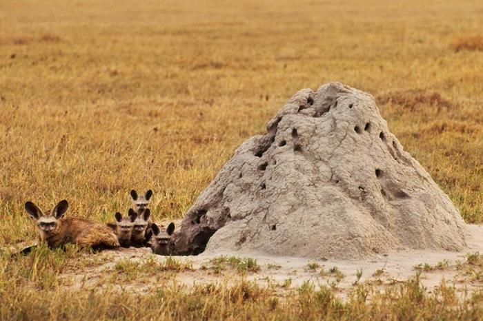 蝠耳狐(Bat-eared fox)有时会利用旧的白蚁丘当作巢穴,就像这个在波札那的家族一样。 PHOTOGRAPH BY FRANS LANTING, NAT