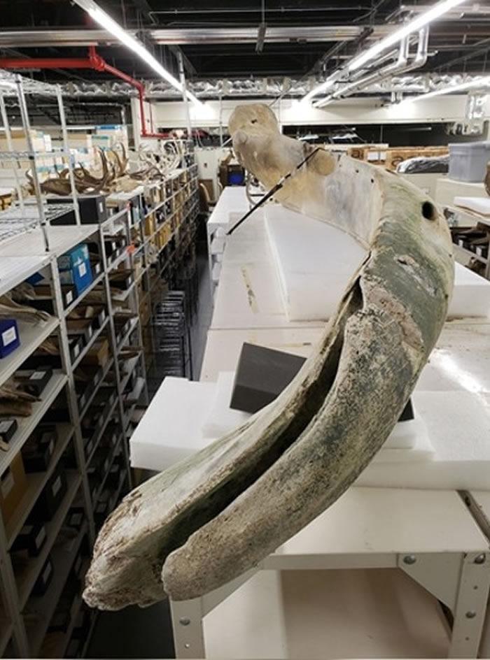 美国佛罗里达州对开大西洋发现4.2米长巨型骸骨 疑为露脊鲸颚骨
