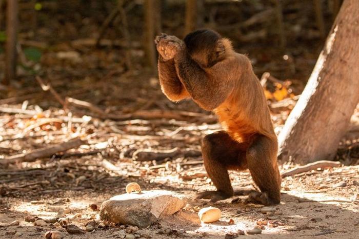 为了敲开腰果,卷尾猴会用直径约2.5公分到人类拳头大小不等的圆石当工具。 做这件事时,牠们会运用整个身体,有点像人类的棒球投手那样。 PHOTOGRAPH BY