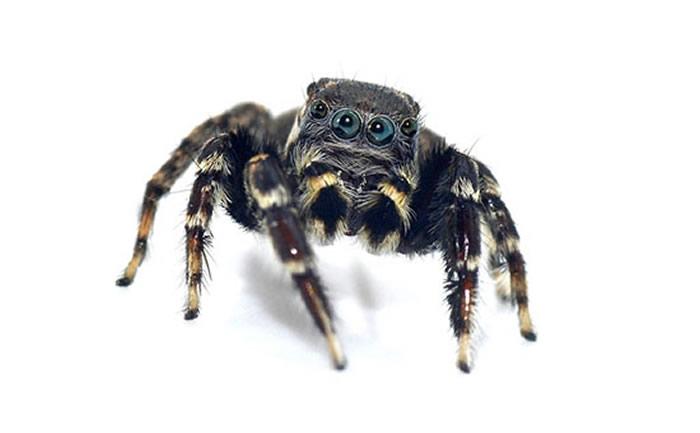 """澳大利亚新蜘蛛""""Jotus karllagerfeldi""""纪念""""老佛爷""""卡尔·拉格斐(Karl Lagerfeld)"""