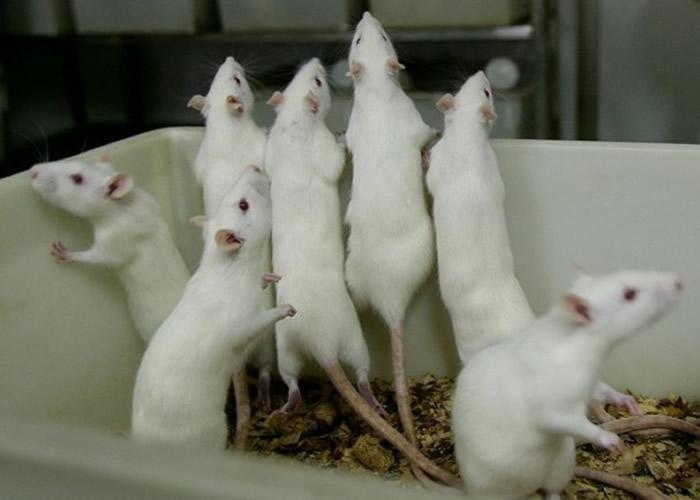 团队成功清除老鼠DNA内的HIV病毒。