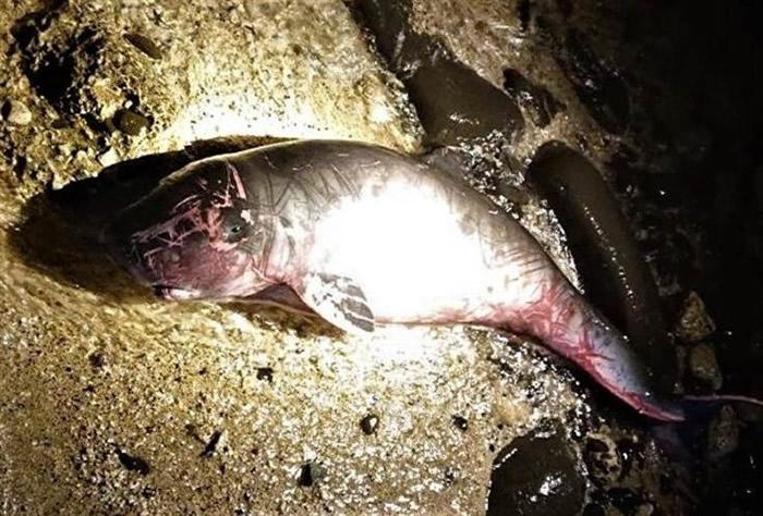 台湾澎湖内埯海域小抹香鲸搁浅亡 母鲸岸边徘徊不忍离去