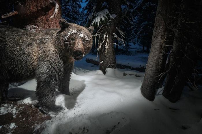 在黄石国家公园(Yellowstone National Park)附近的一台相机陷阱,捕捉到一头灰熊从松鼠的食物贮藏处偷走美国白皮松松子。 坚果是杂食性熊的重