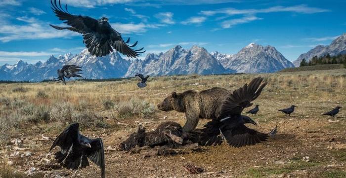 一只灰熊抵挡前来抢食野牛尸体的渡鸦。 PHOTOGRAPHY BY CHARLIE HAMILTON JAMES, NAT GEO IMAGE COLLECTI